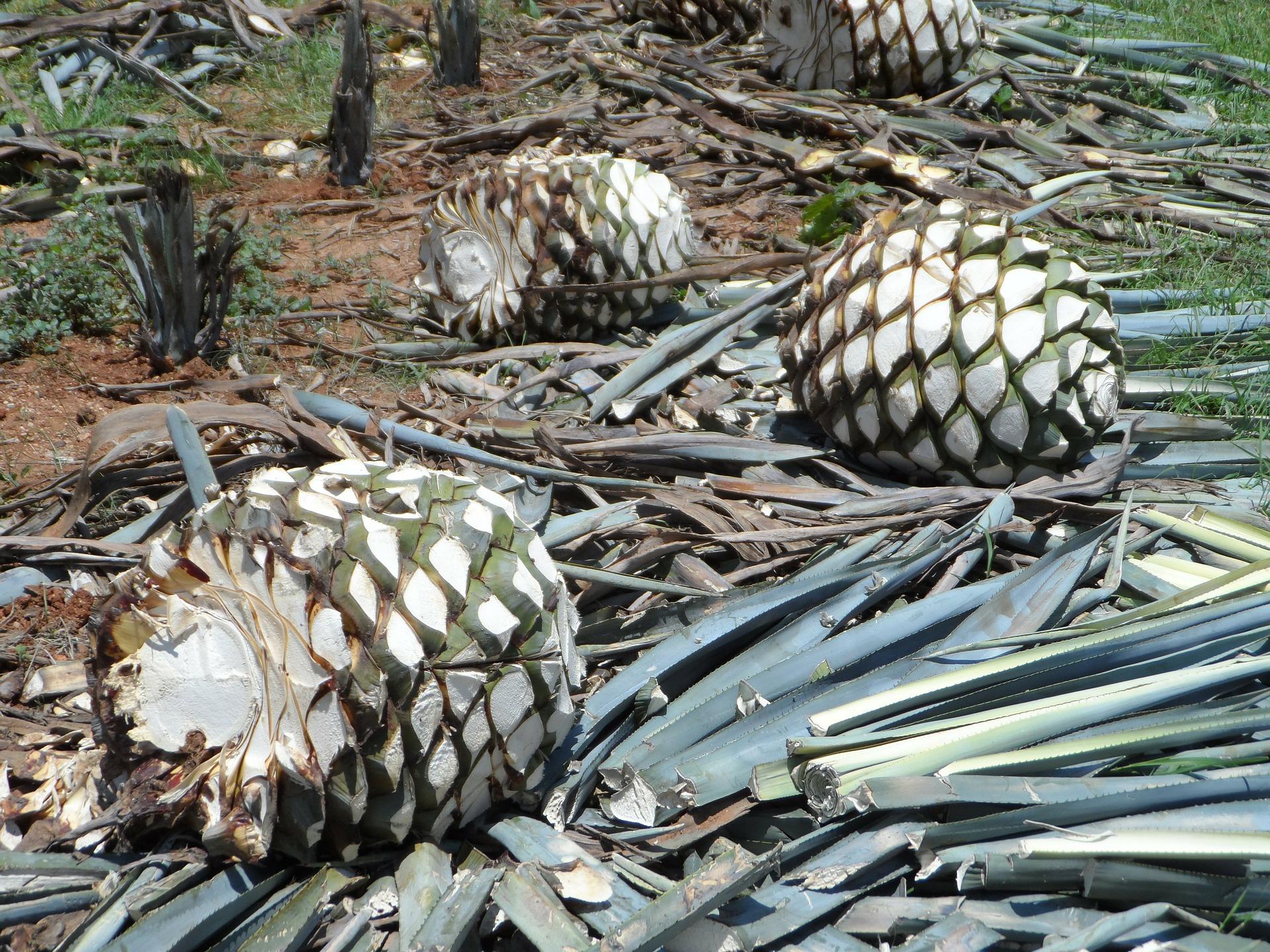 Agavenherzen, die man für die Herstellung von Mezcal von Blättern befreit hat, sehen aus wie Ananas - deswegen nennt man sie Piñas.