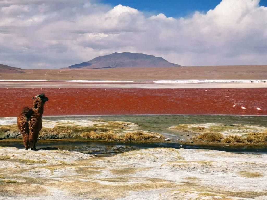 Ebenfalls ein wichtiger Teil Boliviens: die unzähligen Lamas.